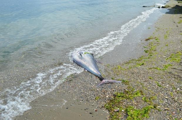 90 kiloluk orkinos sahile vurdu
