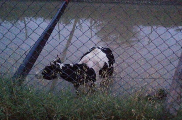 Su kanalına düşen ineği itfaiye halatla kurtardı
