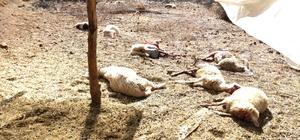 Kurt saldırısında 13 küçükbaş hayvan telef oldu