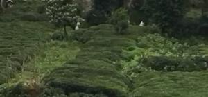 Rize'de ayı çay bahçesine girdi