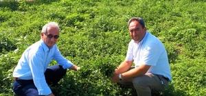 """Eskişehir tıbbi bitkide atağa kalkıyor Mihalgazi'de ekilen 5 bin 350 adet tıbbi nane fidesinin ilk hasadı yapıldı İl Tarım ve Orman Müdürü Dr. Emine Sever; """"Dünyada 110 milyar dolara ulaşan tıbbi ve aromatik ürünler pazarından Türkiye'nin aldığı pay 2 buçuk milyar doları seviyesi"""""""