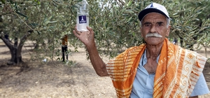 Foça'da 44 bin zeytin ağacı korunacak Büyükşehir, üreticiler ve gönüllü gençlerden örnek işbirliği