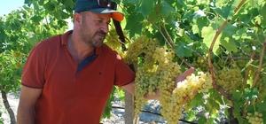 """Sultaniye üzümde hasat zamanı, üreticiden 12 lira fiyat beklentisi Üretici Süleyman Güney: """"Üzümü 12 liranın altında satarsak zarar ederiz"""""""