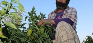 """Mevsimlik tarım işçileri insanca yaşamak istiyor Hamzabeyli Mahallesinde çiftçilik yaparak tarım işçisi çalıştıran Hamdullah Erol: """"Buradaki koğuşta 5 aile, 20 kişi kalıyor. Tek tuvalet tek banyo kullanıyor. İmkanlar ona elveriyor"""" Mardin'den Manisa'ya ailesiyle birlikte çalışmaya gelen Fatma Yıldız: """"Devlet büyüklerimiz bizi duyuyorlarsa onlardan yardım bekliyoruz. Tarım işçilerini duysunlar, görsünler"""""""