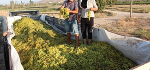 Süperior Üzüm üreticisi dertli Olgunlaşma döneminde şiddetli yağmura maruz kalan üzümlerde fiyatlar düştü İhracatı yapılan üzüm yağmurdan zarar görünce kimi üreticiler üzümlerini kurutmaya bıraktı kimileri de şaraplık üzüm olarak satmaya başladı