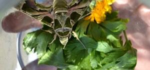 Manisa'da ender görülen 'Mekik Kelebeği' bulundu Askeri kamuflaj desenli 'Mekik Kelebeği' Manisa'da görüntülendi