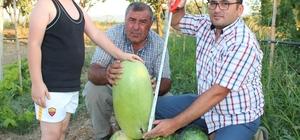 Suudi Arabistan'da tadına baktı Türkiye'de üretti Suudi Arabistan'dan getirdiği karpuz çekirdeklerini toprakla buluşturan çiftçi ilk ürünlerini aldı