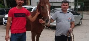 Tedavisi tamamlanan at sahiplendirildi Adana'da geçen Mayıs ayında trafik kazasında yaralanan 4 yaşındaki at, Servan Kılıç adlı çiftçi tarafından sahiplenilerek yeni hayatına başladı