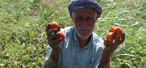 """Domateste üretim çok rekolte düşük Şehzadeler Ziraat Odası Başkanı Hüseyin Altındağ: """"Bu sene domates üretimi çok ancak rekolte düşük"""" """"Çiftçimizin, üzüme başlamadan domatesi toplamak için girmesi piyasada bir dolgunluk oluşturdu ve bu fiyatları düşürdü"""""""