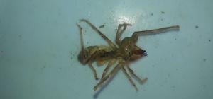 Köyde sarıkız örümceği alarmı