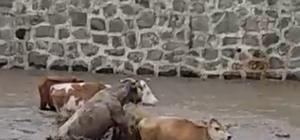 Sele kapılan büyükbaş hayvanlar böyle görüntülendi Ordu'da şiddetli yağış hayatı olumsuz etkiledi