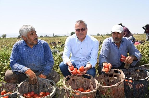 Vali Deniz, Akhisar'da domates hasadı yaptı