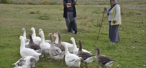 Kars'ta kazlar besiye alındı Besiye alınan kazlar, kar yedikten sonra kesilecek Kars kazları piyasada 250 liradan satışa sunulacak
