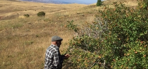 Sivas'ta kuşburnu hasadı İmranlı ilçesinde köylülerin dikenli dallardan tek tek toplayarak geçimini sağladı kuşburnu hasadına başlandı