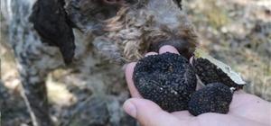 Yozgat'ta av köpekleri ile kilosu 3 bin 500 Euro olan trüf mantarı bulundu