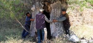 Kavak ağacının kovuğuna 5 kişi sığdı Sivas'ın Alanyurt köyündeki dev kavak ağacının 400 yıllık olduğu tahmin ediliyor