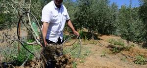 Yaban domuzları meyve bahçelerine dadandı Sabah fidanlarını yerinden sökülmüş olarak buluyorlar