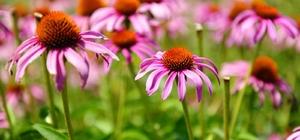 Her derde deva 'ekinezya' Mevsim geçişlerinde ekinezya bitkisinin faydaları saymakla bitmiyor