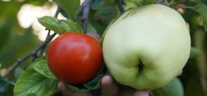 """Bu meyvenin adını bilen yok Ağırlığı 1 kiloyu geçen meyvenin adı hala bulunamadı 71 yaşındaki Necmettin Bor: """"Çok kişi araştırmak için götürdü ama ne olduğunu bilemediler"""""""