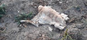 Tarlaya inen ayı bir köpeği telef etti