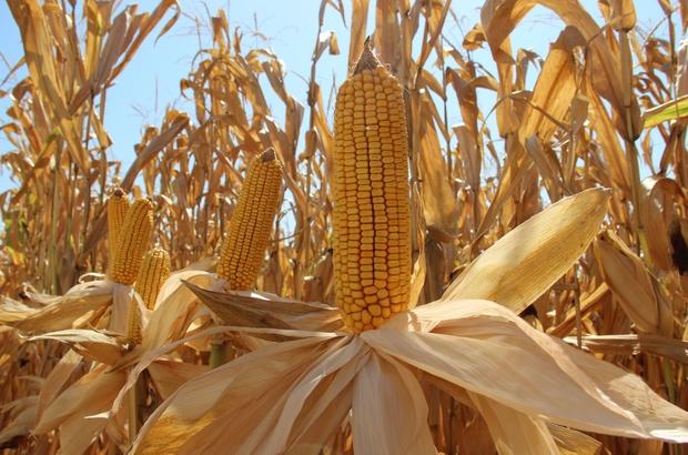 Yapılan uygulamayla mısırda yüksek verim elde edildi Manisa'da Tarla günü etkinliğinde mısır hasadı yapıldı