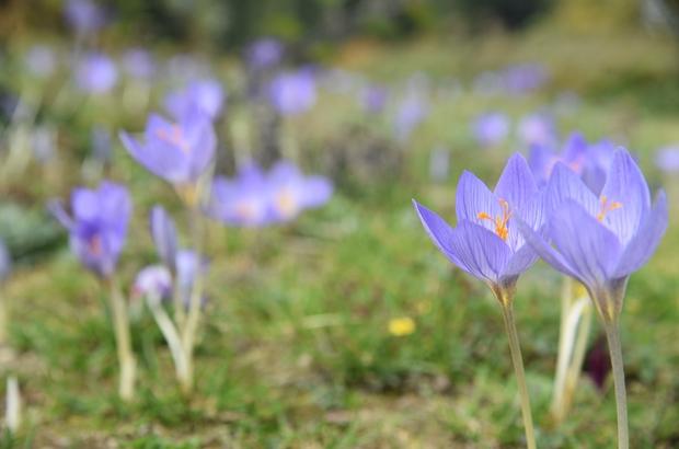 'Vargit' çiçekleri açtı, yaylacılara yol göründü