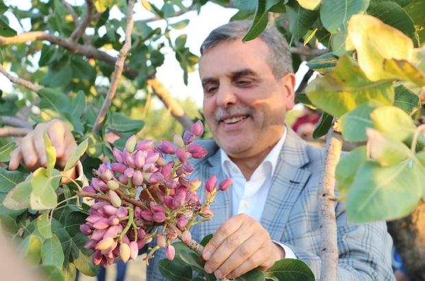 """Şanlıurfa ve gaziantep arasında fıstık krizi şanlıurfa büyükşehir belediye  başkanı zeynel abidin beyazgül: """"türkiye'de en çok fıstık şanlıurfa'da  üretiliyor"""" beyazgül, fıstık tarlasında gaziantep'e gönderme yaptı -  Şanlıurfa Haberleri"""