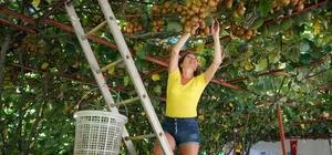 Ülkelerinde ağacını bile görmeyen turistlerin dalından kivi hasadı keyfi Kivinin patates gibi toprağın altında yetiştiğini zanneden turistler, dallardan sarkan kivilere hayran kaldı Turistler, ülkelerine götürecekleri kivileri dallarından kendileri topladı