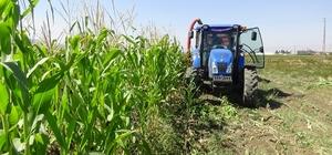 Muş'ta 'silajlık mısır' hasadı Bu yıl 301 çiftçi tarafından 8 bin 807 dekar alanda silajlık mısır ekimi yapıldı