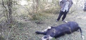 Ayı, kaçırdığı danayı ormanlık alanda parçaladı 4 gün önce kaybolan hayvanlarını ormanda ayı parçalarken buldular