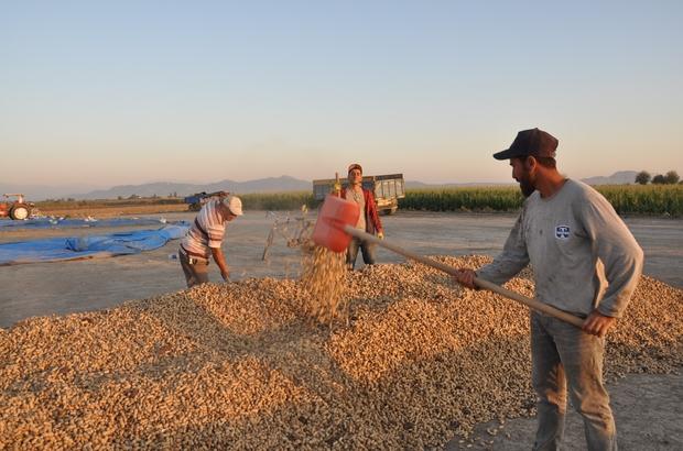 """Yer fıstığı üreticisi destek bekliyor Üretici Hamit Aydın: """"Ceyhan'a fıstık fabrikası istiyoruz"""""""