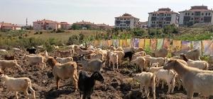 Ebru sanatçısından ilginç protesto; keçilere sergi açtı