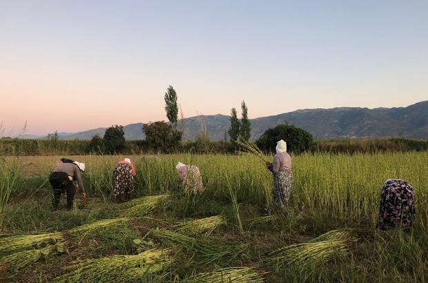 Aydın'da susam hareketliliği Hasat sezonuna giren üreticiler rekolte ve kaliteden memnun