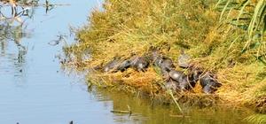 Ayvalık'ta bakımsız dere kaplumbağaların akınına uğradı