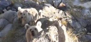 Karınları acıkan Nemrut'un minik ayıları piknikçilerin sofrasına konuk oluyor