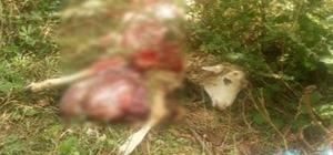 Kastamonu'da ayılar, köpek ve koyunu telef etti