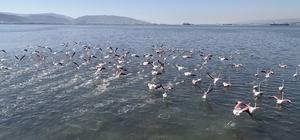 (Özel) Flamingolar İzmit Körfezi'ne akın etti Sulak alanda avlanan flamingolar kartpostallık görüntüler oluşturdu
