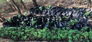 Adana'da uyuşturucu operasyonu: 1 tutuklama Ormanlık alanda bin 37 kök kenevir bitkisi ele geçirildi