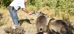 Yavru boz ayıları kurduğu sofrada elleriyle besliyor