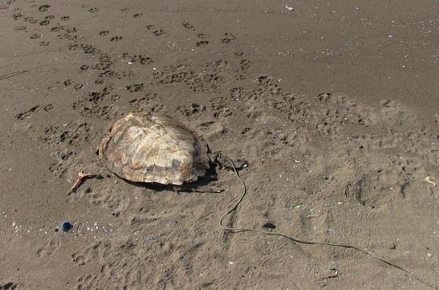 """Sahilde öldürülmüş deniz kaplumbağası bulundu Samandağ sahilinde bulunan başından darbe almış ve arka ayağı iple bağlı ölü yeşil kaplumbağa sahile gömüldü Samandağ Çevre Koruma ve Turizm Derneği Başkanı Mişel Atik: """"Böyle münferit olaylar canımızı sıkıyor"""""""