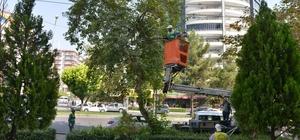 Büyükşehir Belediyesi ağaç budama çalışması başlattı