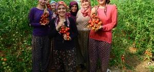 Antalya'da güz dönemi domates hasadı başladı 52 bin dekarlık örtü altı alanın 30 bin dekarında domates üretiliyor