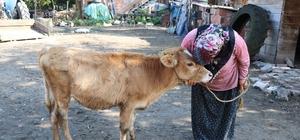 Çalınan büyükbaş hayvanlarına kavuşan vatandaşların sevinci Jandarma ekipleri 7 bin TL değerindeki 3 büyükbaş hayvanı sahiplerine teslim etti