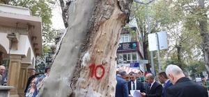Devrilme riski olan asırlık çınar ağacı kesilecek