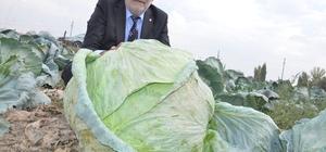 """Elbistan lahanasına """"coğrafi işaret"""" alınacak Lahanalardan alınan numuneler, Kahramanmaraş Sütçü İmam Üniversitesi'nde incelenecek ve kilo, boyut ile aroma yönünden farklılıkları bilimsel olarak ortaya çıkarılacak"""