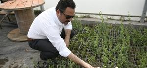 Elbistan'da lavanta vadisi oluşturuluyor Elbistan'ı, 'lavanta kokulu ilçe' haline getirecek proje kapsamında 100 dönümlük alana ekilecek ilk 7 bin fide, seralarda toprakla buluştu