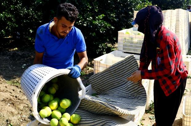 Adana'da portakal hasadı başladı Aşırı yağışlar ve poyraz, portakalda verimi düşürdü Yüreğir Ziraat Odası Başkanı Mehmet Akın Doğan, verim düşüklüğü nedeniyle fiyatların yüksek olmasının çiftçiyi sevindirmediğini belirtti