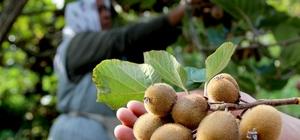 Kivi üreticilerine erken hasat uyarısı