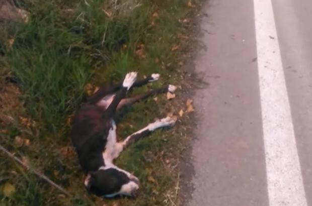 Can çekişen yaralı köpeği sürücüler araçlarına almak istemedi Sivas'ta motosiklet kuryesi, yaralı halde bulduğu köpeği veterinere yetiştirmek için 2 saat otostop yaptı, hiçbir sürücü köpeği aracına almak istemedi 2 saatin sonunda bir sürücü köpeği aracına alıp veterinere taşısa da bu çaba sonuç vermedi