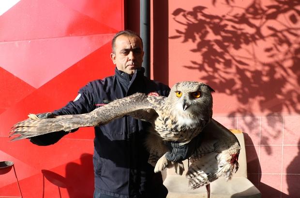 Eve gizlice girdi, görünümüyle görenleri şaşırttı Sivas'ta bir eve giren yaralı baykuş büyüklüğü ile şaşkınlığa neden olurken, itfaiye ekipleri tarafından yakalanarak koruma altına alındı